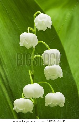Lily of the valley on green leaf