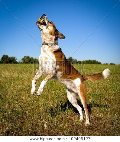 Happy dog leaping left with fall in mouth