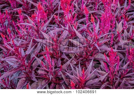 background of bright red celosia dragon's breath plant with flame-like flower heads