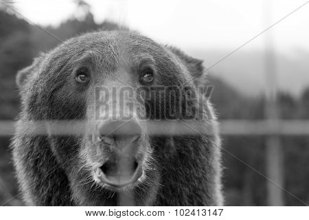 View On Sad European Brown Bear