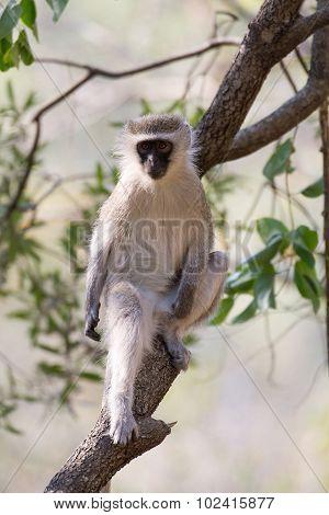 Vervet Monkey In A Tree
