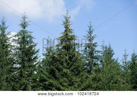 Green Fir Forest
