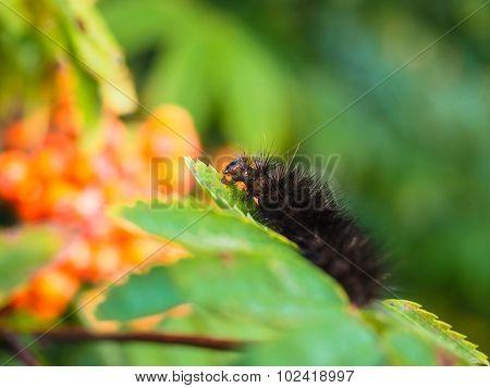Fury Dark Brown Caterpillar