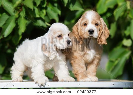 two adorable american cocker spaniel puppies