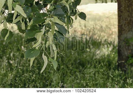 Branch with bud flowers of Linden Tree (lime tree), herbal medicine