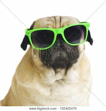 pug with sunglasses.