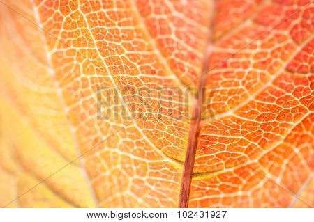 Macro Image Of Red Autumn Leaf With Small Depth Of Field
