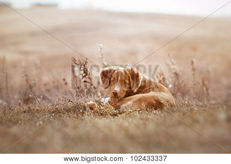 Toller Puppy Outdoors Cute