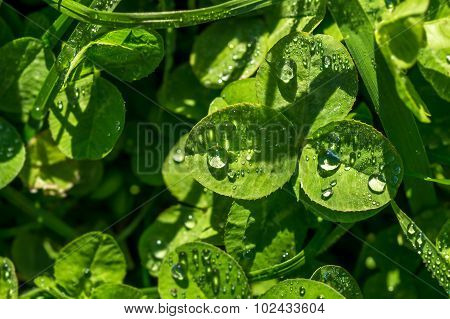 Dew Drops On Green Leaves Of Clover