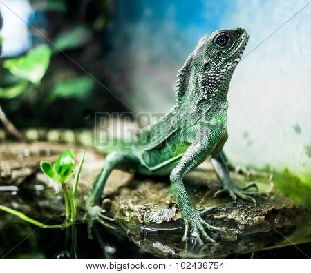 lizard with spikes on bruch in terrarium
