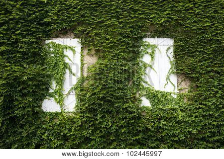 Facade building covered with ivy, Oloron Saint Marie, France.