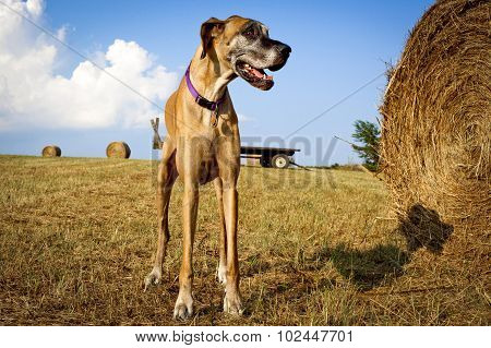 Great Dane panting looking right with hay bale