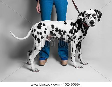 The Girl Shows A Dalmatian Dog In Front