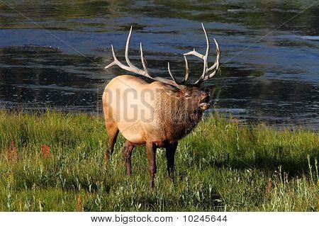 Majestic Bull Elk Bugling