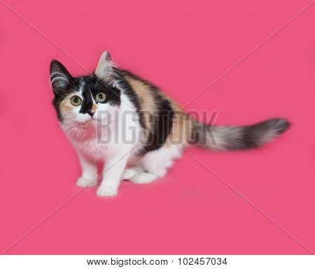 Tricolor Fluffy Kitten Sitting On Pink