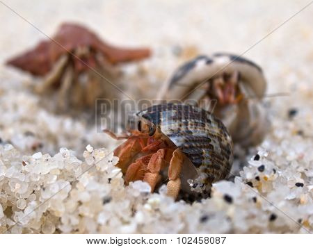 Hermit Crab On The Beach.