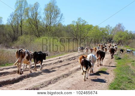 cows coming back from pasture