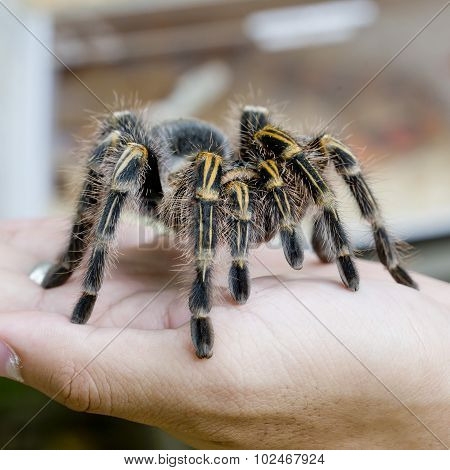 Mexican Redknee Tarantula (brachypelma Smithi), Spider Female In Human Hand