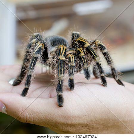 Mexican Redknee Tarantula (brachypelma Smithi), Spider Female In Human Hand