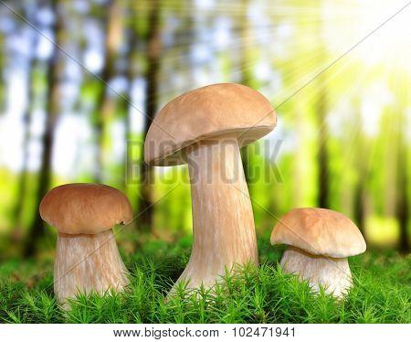 Edible mushroom ( Boletus edulis ) in forest