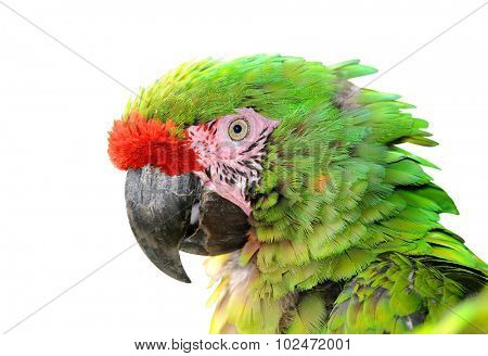 Military macaw (Ara militaris mexicana) portrait isolated on white
