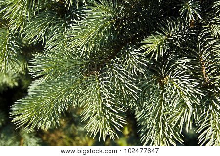 Branches Of Blue Fir Tree