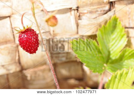 Bush with one strawberry on stem. Wood birch bark background