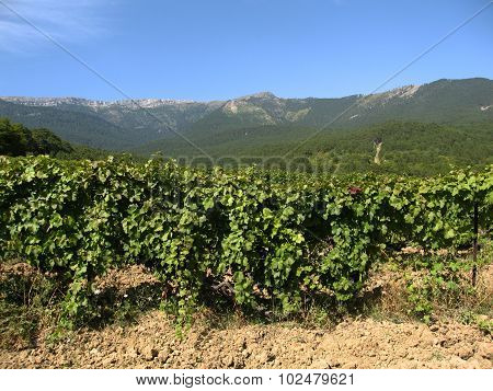 Hills And Grapes Plantation.