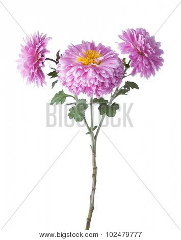 Branch with flowers of chrysanthemums isolated on white background