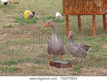 Goose  In The Animal Farm