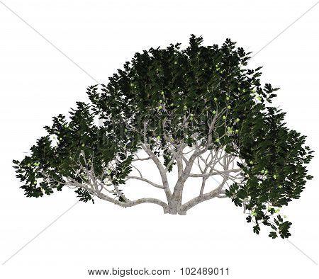 Fig tree - 3D render