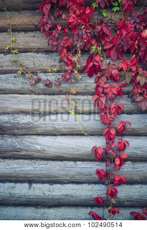 red leaves parthenocissus