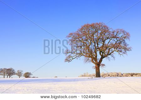Single Oak Tree Snow Landscape