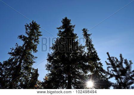 Polar fir ...