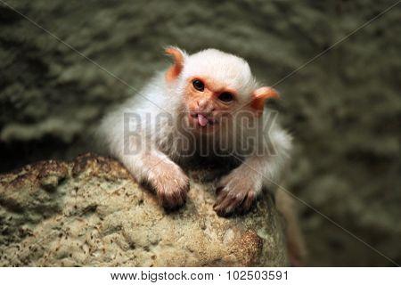 Silvery marmoset (Mico argentatus). Wild life animal.