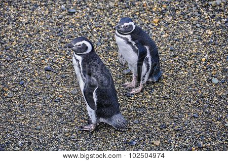 Penguin couple In Ushuaia, Argentina