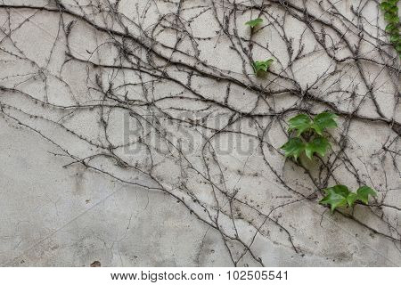 Old grey stucco wall covered with dry and green ivy. Background texture.