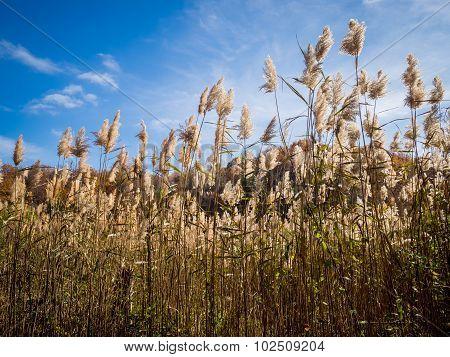 Tall Marsh Grass Seed Heads on a Blue Sky