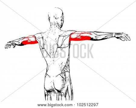 Vector concept or conceptual 3D triceps human anatomy or anatomical and muscle isolated on white background