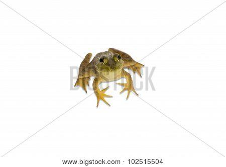 Young American Bullfrog