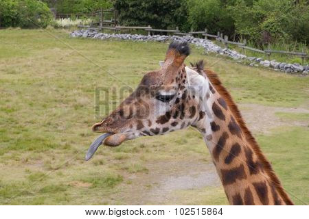 Giraffe Sticks Tongue Out At Onlooker