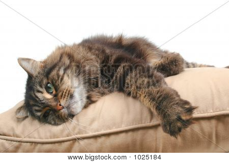 Cute Cat On Cushion