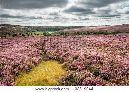 Goathland Moor Heather