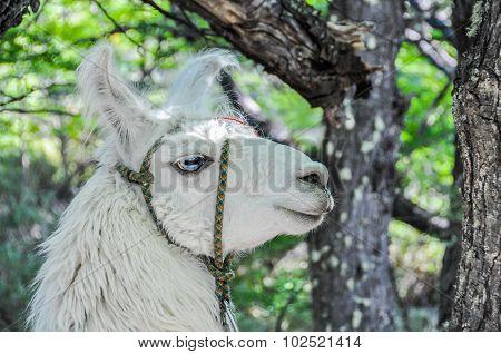 Lama, Fitz Roy, El Chalten, Argentina