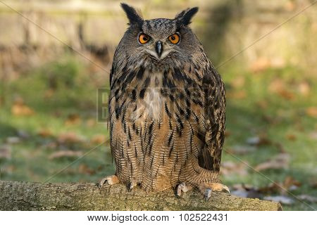 Eagle Owl, bubo, portrait on the grass