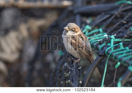 Sparrow Passer domesticus male perched on a creel close up
