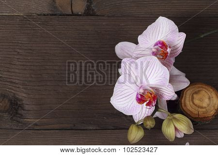 Lilac orchid