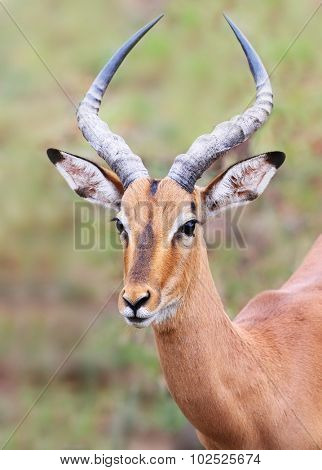 wild impala in Kruger national park, South Africa.