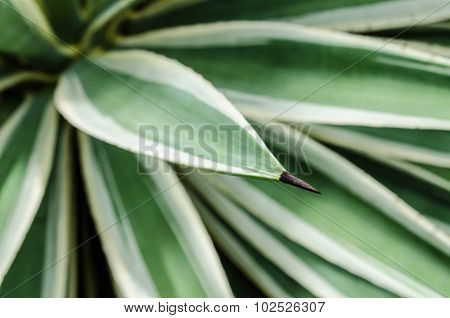 Agave thorn tree in garden with nature background