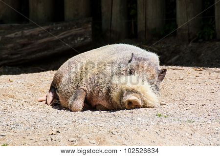 African Wild Pig Sleeping In The Zoo